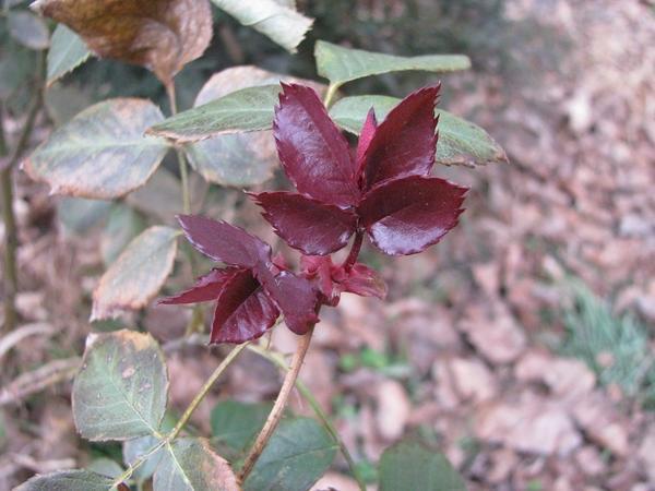 Молодые январские листочки на розах