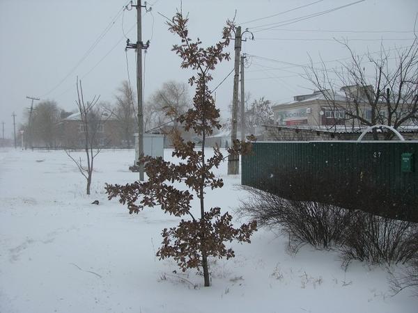 Зимний дубок с листьями