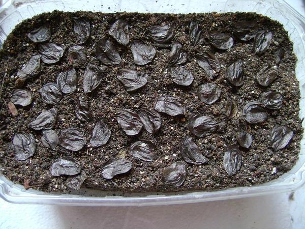 Посев амариллиса