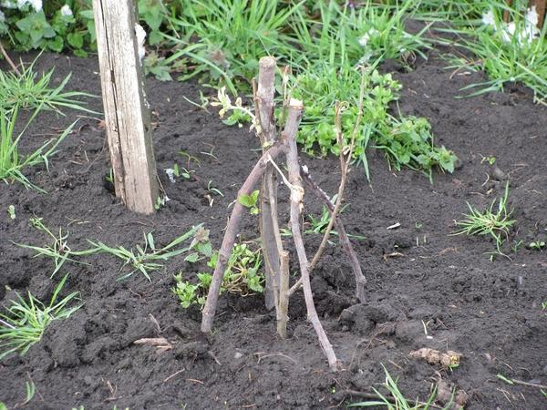 Ива в моем саду