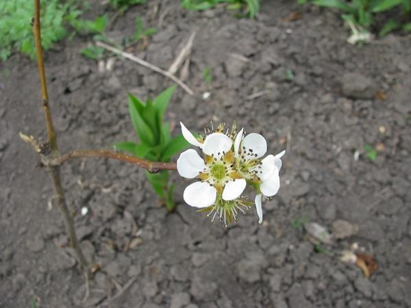 Черенок Нэши цветет