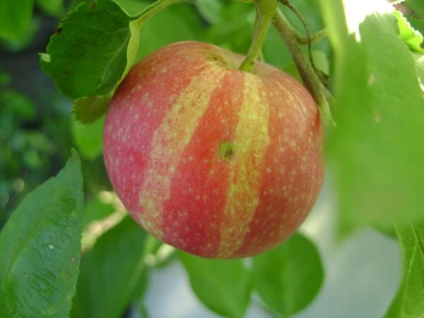 Полосатое яблоко сорта Флорина