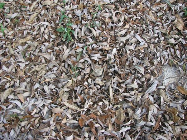 Опавшие листья ивы