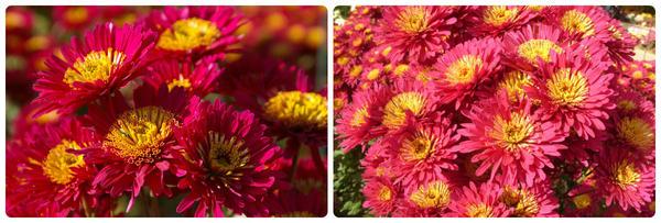 Мелкоцветковая хризантема сорт Shurt