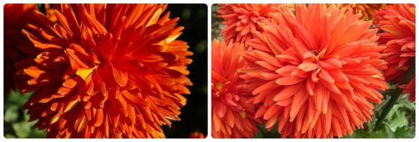 Крупноцветковая хризантема сорт Escort Rot