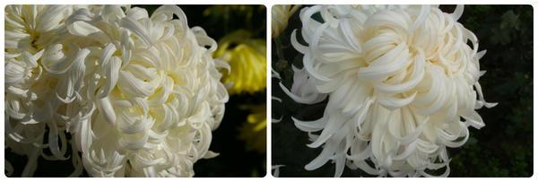 Крупноцветковая хризантема сорт Белый Пудель