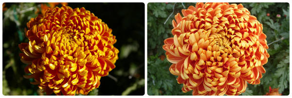 Крупноцветковая хризантема сорт Resow