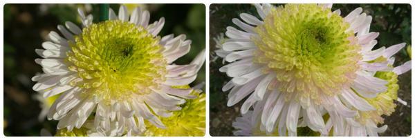 Крупноцветковая хризантема сорт Ziveno