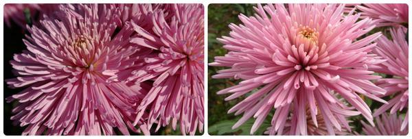 Крупноцветковая хризантема сорт Ludmila