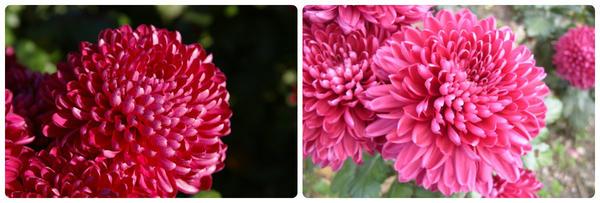 Крупноцветковая хризантема сорт Nary