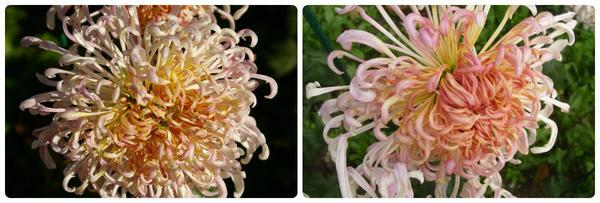 Крупноцветковая хризантема сорт Грация