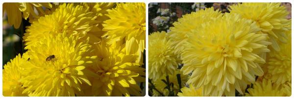 Мелкоцветковая хризантема сорт Baltica Yellow