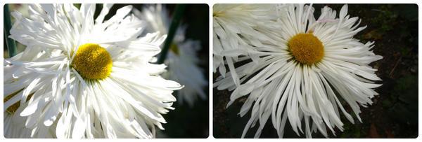 Крупноцветковая хризантема сорт Белоснежка