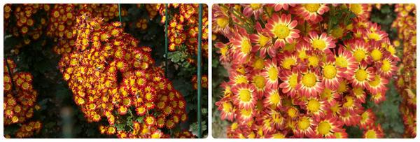 Мелкоцветковая хризантема сорт Пчелка