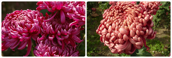 Крупноцветковая хризантема сорт Daily Mirror Violet