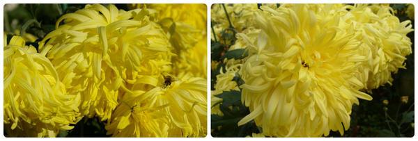 Крупноцветковая хризантема сорт Огни Пекина
