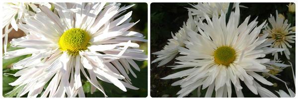Крупноцветковая хризантема сорт Ласточка (Янь-Цзы)