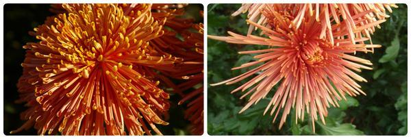 Крупноцветковая хризантема сорт Spira Red
