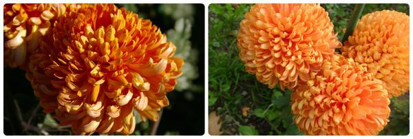 Крупноцветковая хризантема сорт Astro Bronze