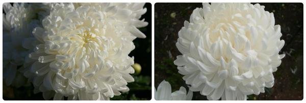 Крупноцветковая хризантема сорт Ribonet