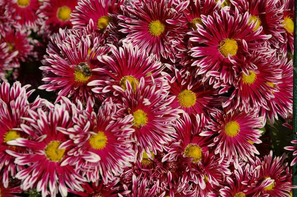 Хризантема садовая сорт Ялтинка