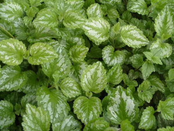 Одно из самых неприхотливых пестролистных растений зеленчук желтый Пестролистный