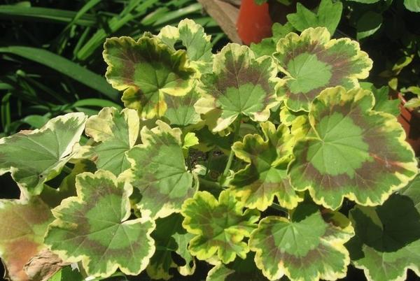 Пеларгония зональная пестролистная, фото сайта greenboom.ru