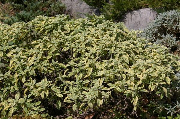 Шалфей лекарственный сорт Icterina, эффектный представитель семейства Губоцветные или Яснотковые