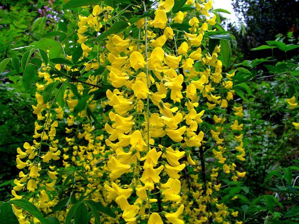 Цветет бобовник анагиролистный
