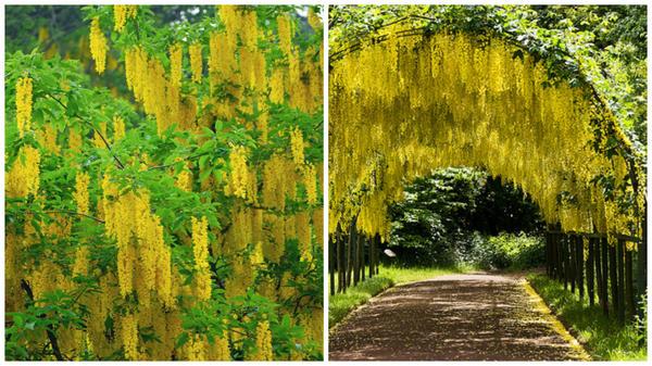 Слева бобовник альпийский, фото сайта australianseed.com, справа тоннель из него, фото сайта deccoria.pl