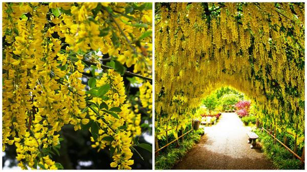 Слева золотой дождь бобовника анагиролистного в моем объективе, справа золотая арка из него, фото сайта www.bayviewfarmandgarden.com