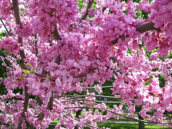Цветущий церцис