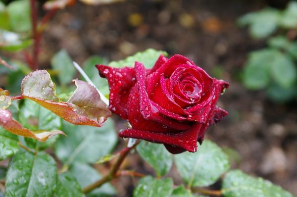 Роза сорт Norita