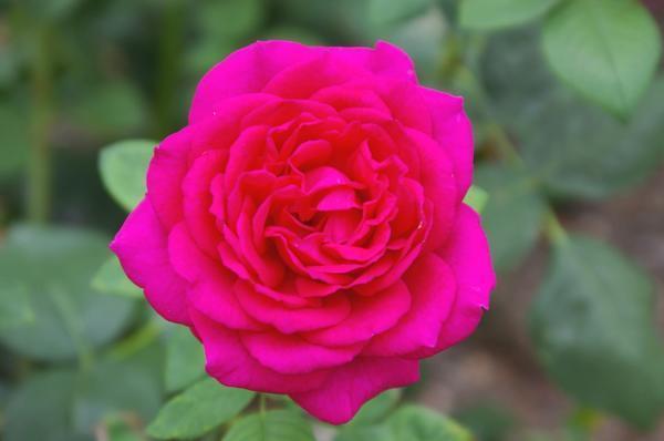 Роза сорт Земфира