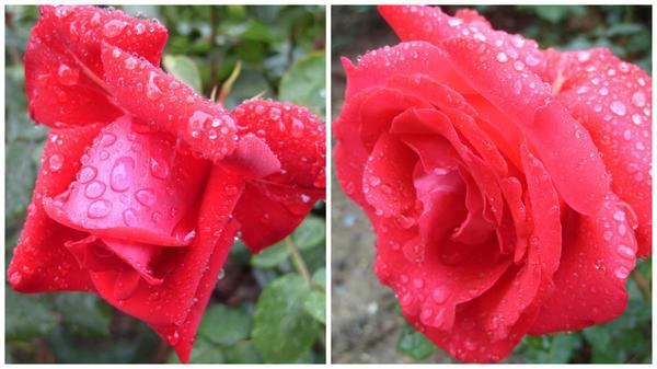 Роза сорт La Marseillaise