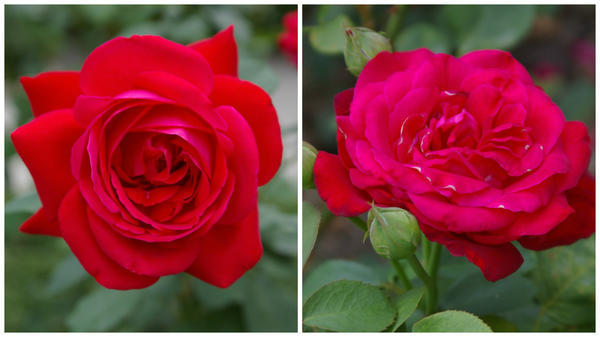 Роза сорт Dame de Coeur