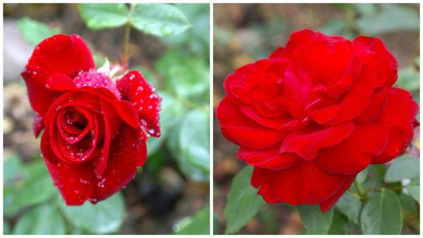 Роза сорт Le Rouge et le Noir