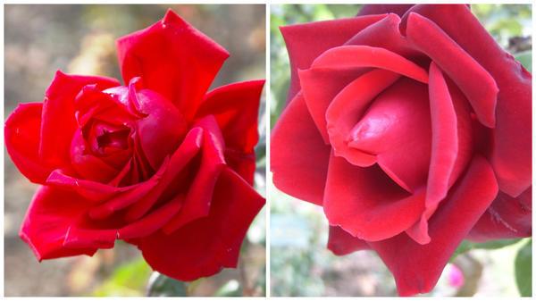 Роза сорт Tassin