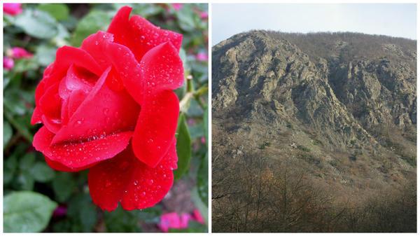 Роза сорт Аю Даг и гора Аю Даг, у её подножья, Крым