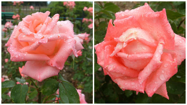 Роза сорт Dolce Vita