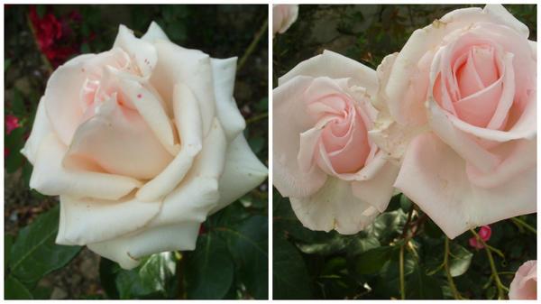 Роза сорт Ocean Pink