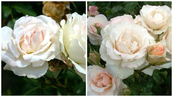 Роза сорт Johan Strauss