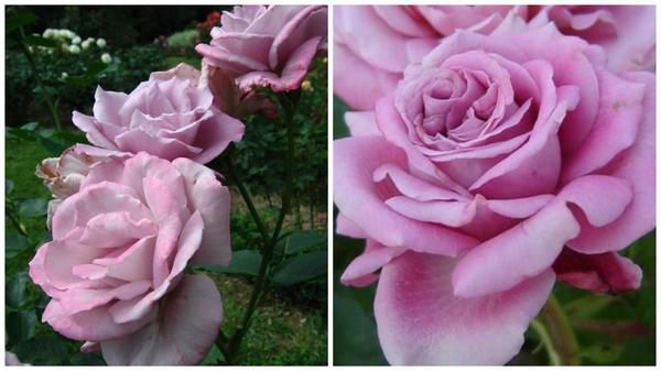 Роза сорт Blue Nil в моем объективе и фото сайта irecommend.ru