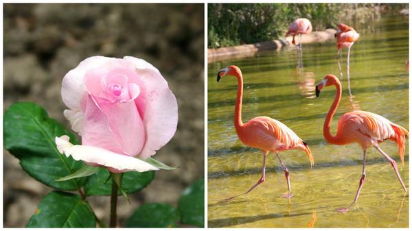 Роза сорт Flamingo и фламинго, красивые розовые птицы