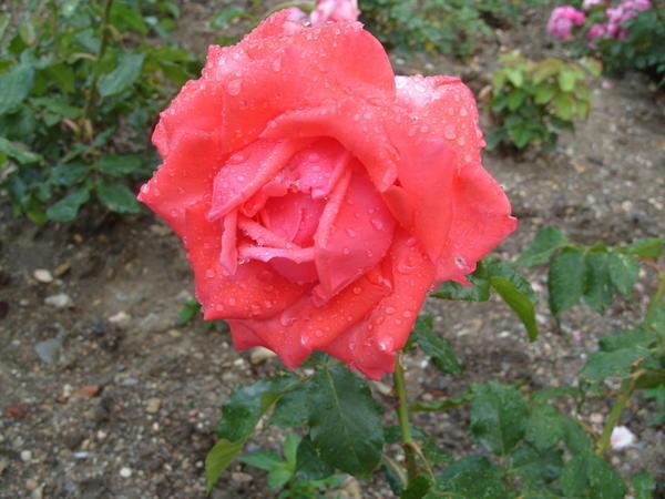 Роза сорт Greta