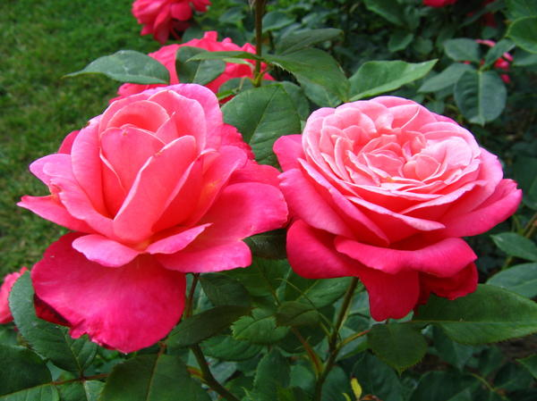 Роза сорт Josephine Baker