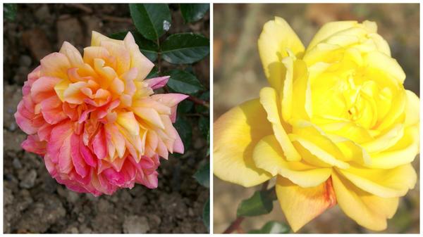 Роза сорт Золотой Юбилей в мае этого года (слева) и в ноябре прошлого года (справа)