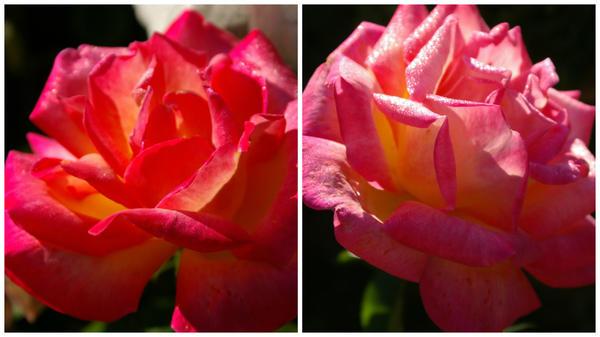 Роза сорт Mascotte