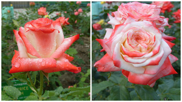 Роза сорт Imperatrice Farah