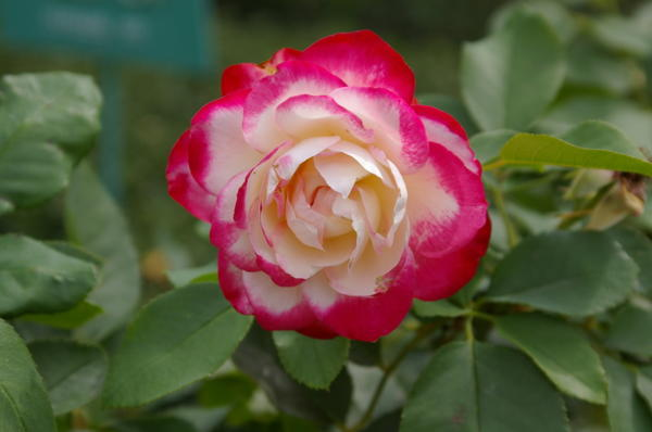 Роза сорт Nostalgie